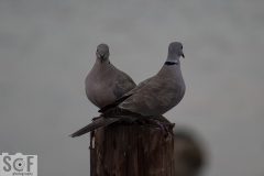 Doves Couple