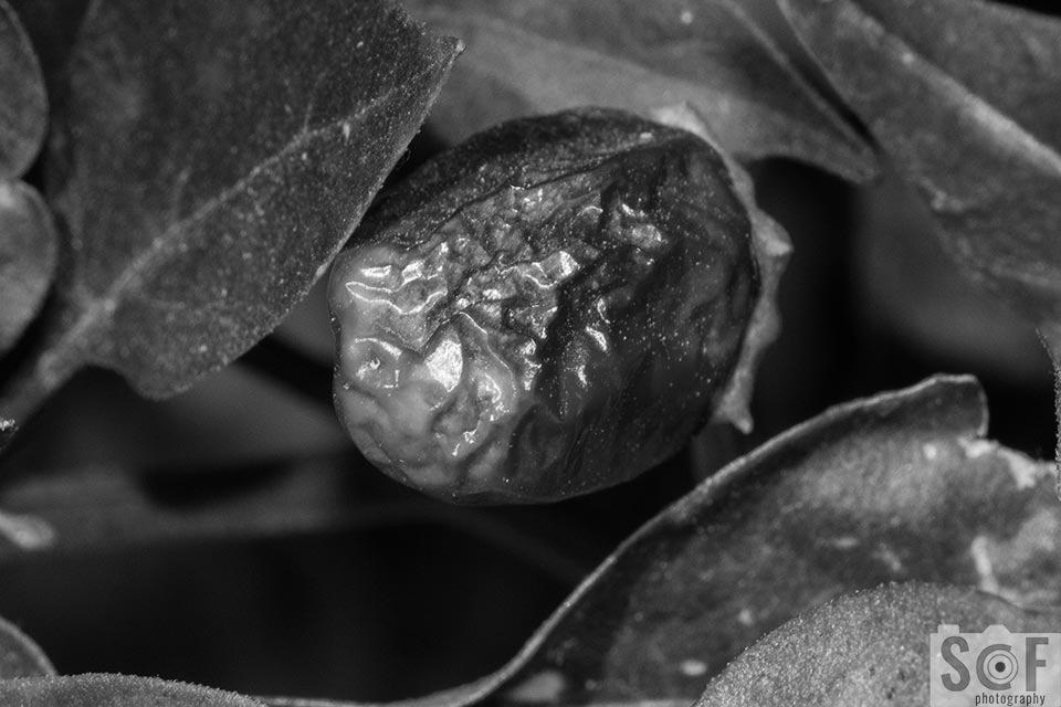 Rotten Chilli - Monochromacy Achromatopsia