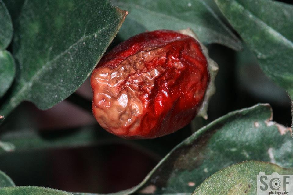 Rotten Chilli - Tritanomaly