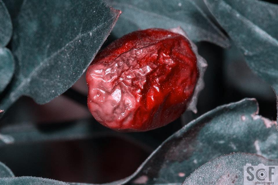 Rotten Chilli - Tritanopia