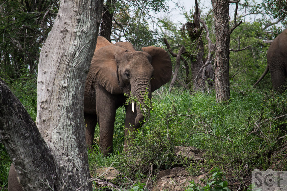 Elephant Behind A Tree 3