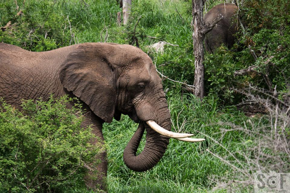 Prime Male Elephant