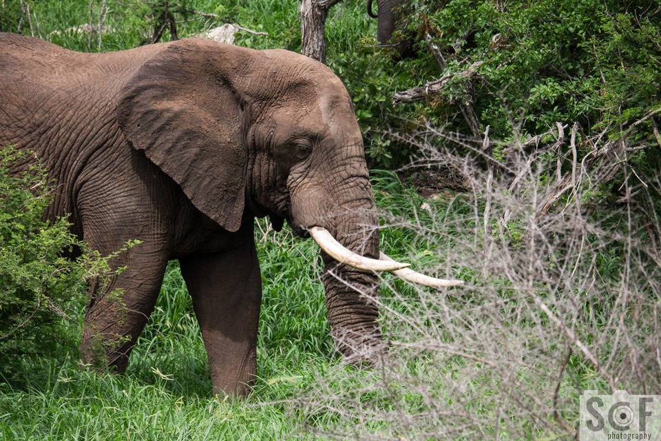 Prime Male Elephant 2