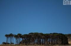 Stone Pine Trees